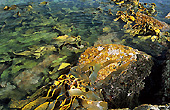 Kelp, South Cape Rivulet